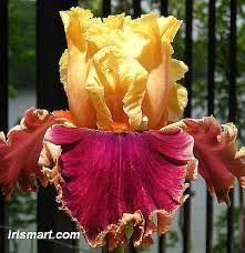 bearded irises at iris mart bearded reblooming irises