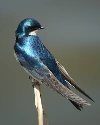 The Color Is So Beautiful. | Birds | Pinterest | Tree Swallow ... Union Bay Watch Surround Sound The Color Is So Beautiful Birds Pinterest Tree Swallow Easy Tips To Attract Swallows Swifts And Martins Feather Tailed Stories 2017 Barn Swallow Migration Annual Cycle Audubon Guide North American Fledgling Feeding Time Youtube Petting A Baby Hinterland Whos Who Eating Insects Barn Nextdoor Nature