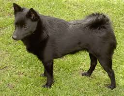 Quiet Small Non Shedding Dog Breeds by 177 Best Akc Dog Breeds Images On Pinterest Animals Dog Breeds
