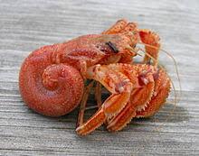 Halloween Hermit Crab Lifespan by 220px Pagurus Bernhardus Jpg