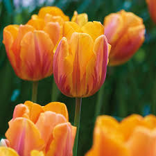 zyverden tulips bulbs princess irene set of 12 21592 the