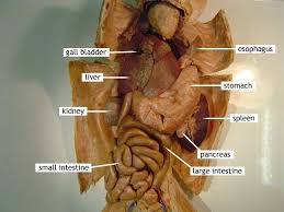 cat digestive system cat dissection digestive system avoiding animal products will