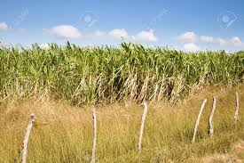 A Field Of Sugarcane In The Area Around Cienfuegos Southern Cuba Stock Photo
