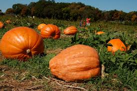 Southern Ohio Pumpkin Patches by Homepage Huge Pumpkins Jpg