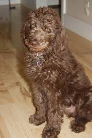 Dogs That Shed The Least Hair by About Labradoodles Aussiedoodle And Labradoodle Puppies Best