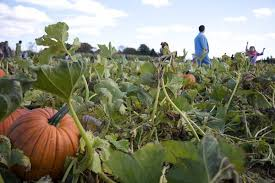 Pumpkin Picking Ct Best by Jones Family Farms Pumpkin Picking At Its Best U2014 Ct Bites
