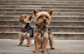 Top Dogs That Dont Shed Hair by 5 Tiny Dog Breeds Who Stay Small Petful