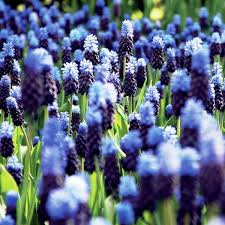 muscari latifolium brent and becky s bulbs 25 planted jan 2015