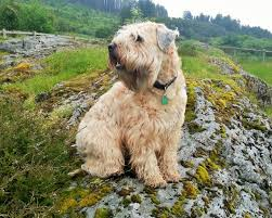 Do Wheaten Terrier Puppies Shed by 100 Do Wheaten Terrier Dogs Shed 10 Things Only Soft Coated