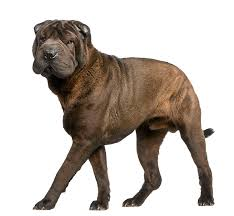 Do Shar Peis Shed Hair by Chinese Shar Pei Dog Breed Information Pictures Characteristics