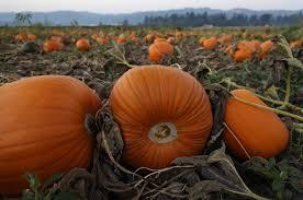 Sauvies Island Pumpkin Patch Corn Maze by Harvest Festivals Bring Oregon U0027s Farm Bounty To The Masses