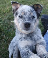 Blue Heeler Puppy From Cattle Dogs Rule! The Best Puppies ... Home Adoptions Open For Dogs Rescued From Filthy Puppy Mill In Beautiful Bella The German Shorthaired Pointer Puppy Cellos Corner Barn Columbus Nj Puppies Bonnies Tlc Pet Grooming 13 Photos 49 Reviews Groomers 40 Abandoned Nj Home Animal Massage Therapy Career Profile 68 Dogs Saved Indiana Mill Peoplecom Thank You Our New Family Members Yelp 26 Pet Shops Cluding East Brunswick And Green Brook Face Fines