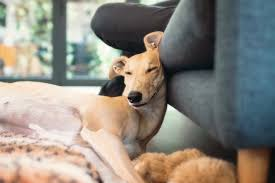 Dogs That Shed Very Little by 10 Great Reasons To Adopt A Greyhound Today The Style Insider