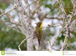 Female Lesser Yellownape Woodpecker Green Bird Pecking On Tree T ... Eno Woodpecker For Web Mudflaps Ford Truck Enthusiasts Forums 2019 Intertional Hx Tandem Axle Day Cab Cummins Isx 565hp Pileated Woodpecker Or Giant Red Headed Jackhammer Soundi Flickr 2013 Paystar 5900 Chassis For Sale 66038 Black Chevy Mega Digging In At Woodpeckers Mud Bog End Of Year A Us Marine Corps Medium Tactical Vehicle Replacement 7ton Truck Freightliner Pickup Shortly After I Got Out Of The Woody Fire Kiddie Ride Version 2 Youtube Triple M Equipment Home Facebook Creambacked Campephilus Leucopogon Female In A