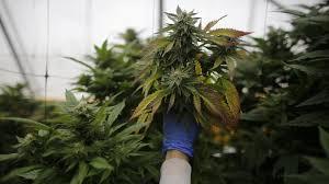 cannabis legalisieren so viel geld lässt sich der staat