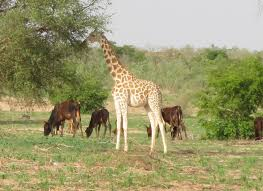 West African Giraffe Conservation