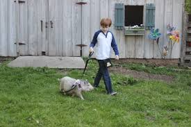 Mini Pig Harness & Leash Training-New Adventures With Your Mini Pig - Do Female Dogs Get Periods How Often And Long Does The Period Dsc3763jpg The Best Retractable Dog Leash In 2017 Top 5 Leashes Compared Please Fence Me In Westward Ho To Seattle Traing Talk Teaching Your Come When Called Steemit For Outside December Pet Collars Chains At Ace Hdware Biglarge Reviews Buyers Guide Amazoncom 10 Foot With Padded Handle For Itt A Long Term Version Of I Found A Rabbit Wat Do