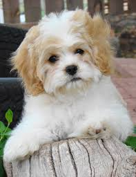 Best Non Shedding Small Dogs by Cavachon Puppies Hybrids Non Shedding Cavachon Puppies Non
