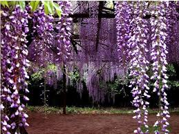 planting wisteria in a pot compare prices on wisteria in pots shopping buy low price