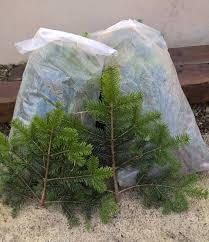 Christmas Tree Saplings Ireland by Limerick Christmas Tree Centre