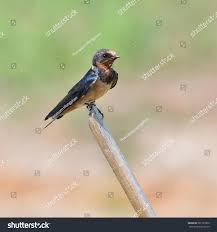 Barn Swallow Perched On Dead Branch Stock Photo 261525902 ... Barn Swallow Sitting On A White In Sumrtime Stock Photo Swallow Watercolor Print 5x7 Bird Art David Scheirer Wooden By Limitlessendeavours On Deviantart Birding Is Fun The Beloved Character Concept Pilot Illustration Project Barn Barnstorming Swallows Make Their Return To New Hampshire Birds Of York Larks And Kinglets Cool Facts About Small With Forked Tails Hirundo Rustica Male Lake Washington Union Bay Seattle Usa Feather Tailed Stories