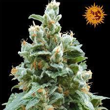 Vanilla Kush Miss Mary Jane Pinterest Cannabis Buy Weed And