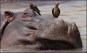 si鑒e social hippopotamus hippopotamus si鑒e social 28 images how smelly is a hippo