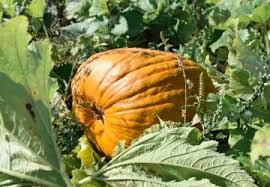 Seattle Pumpkin Patch by The 10 Best Pumpkin Patches To Explore This Fall Seattle Refined