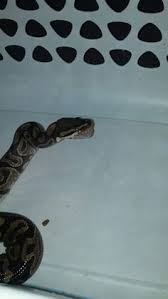 Ball Python Shedding Eating by Youtube Ball Python Eating Pinterest Ball Python Python And