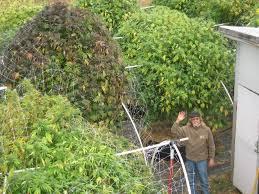 comment tailler ou pincer les plantes de cannabis du