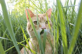 Should You Let Your Cat Eat Grass? - Wildernesscat Lola The Grass Awn Youtube Canada Wild Rye The Project Bobs Blog Animal Hospital Of Rowlett Awns Making An Summer Danger Lurking In Yo Venice Dangers Foxtails To Dogs Cats Specialty Group Free Images Branch Field Sunlight Crop Ear Agriculture Porcupine Hesperostipa Spartea Ramblings A Seed Picker Field Biology Southeastern Ohio Grasses Part 2 Explore Barley Todays Homepage Filespear Heteropogon Contortus Tertwined Awns A Key Common Hawaii Page 6 Diase World Wheat