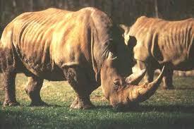 Rhinoceros Smashing Pumpkins Tab by North Carolina