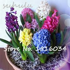 sale 50 pcs real hyacinth seeds green plants not hyacinth