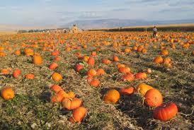 Denver Area Pumpkin Patches by Pumpkin Patch Studts Pumpkin Patch And Corn Maze