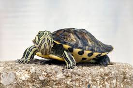 your first terrapin pets4homes