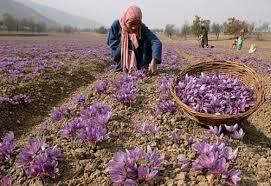 saffron crocus 25 bulbs spice fall blooming