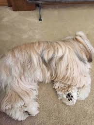 Shih Tzu Lhasa Apso Shedding by Lhasa Apso Blog April 2015