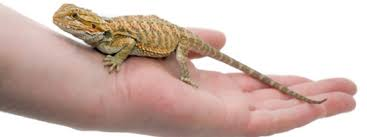 the costs of keeping a bearded dragon bearded dragon costs