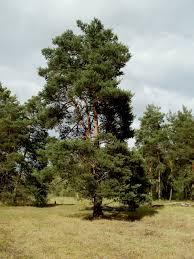 pin sylvestre pinus sylvestris plantation culture entretien