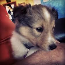 Ziley 8 week old Sheltie puppy