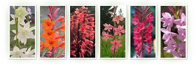 bulbs for sale plants image mag