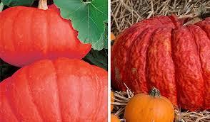 Varieties Of Pumpkins by The Many Colors Of Pumpkins Sensational Color