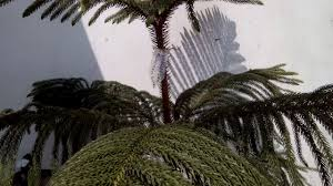 Christmas Tree Seedlings by How To Grow And Care Araucaria Christmas Tree In Hindi And Urdu