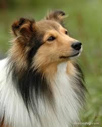 best 25 shetland sheepdog ideas on pinterest shetland sheepdog