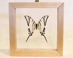 Real Framed Butterfly Wall Art Display Natural Home Decor Gift