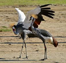 West African Crane Mating Dance 2 By Steven Aicinena