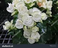 100 Fresh Home And Garden White Begonia Flower Blooming Stock Photo Edit