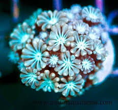 11 best Alveopora coral images on Pinterest