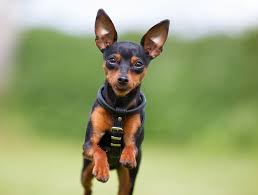 do miniature pinscher mix shed 12 of the world s smallest breeds mnn nature network