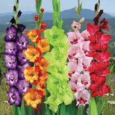 flower bulbs suppliers indian gladioli flower bulbs